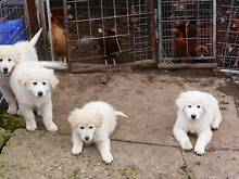 Maremma Pups For Sale Lucindale Naracoorte Area Preview