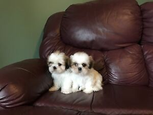 Beautiful Genuine Shih-Tzu Puppies! NOT MIXED! READY NOW!!