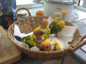 Sun Conure handreared babies Palmwoods Maroochydore Area Preview
