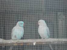 2 Breeding pair of Indian Ringnecks Port Pirie Port Pirie City Preview