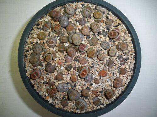 # 229 -  Pot full of Lithops - ( small seedlings)  50 + plants !!