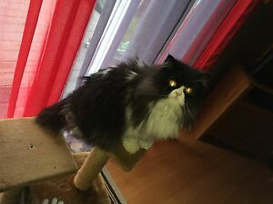 2 Year Old Beautiful Persian/Himalayan With Accessories