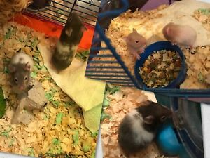 Baby Syrian hamsters ready for new homes