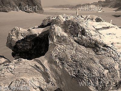 photo landscape seascape DRIFTWOOD black white sepia original print art 16