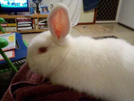 Rabbit found Swansea