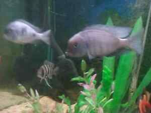 Dolphin  & Electric Yellow African Cichlid fry for sale Acacia Ridge Brisbane South West Preview