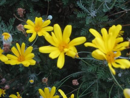 ESTABLISHED YELLOW DAISY PLANT: JUST $20