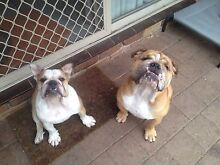 British Bulldogs 10 months old Helensvale Gold Coast North Preview