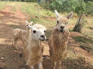 Alpacas for sale Wamuran Basin Moreton Area Preview