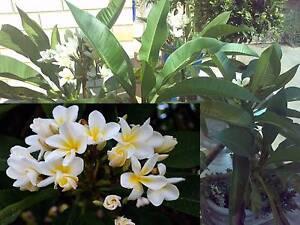 Flowering Frangipanis in pots Salisbury Plain Salisbury Area Preview