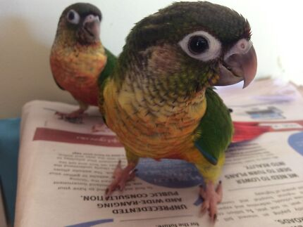 Handraised Baby yellow sided greencheek conure Helensvale Gold Coast North Preview