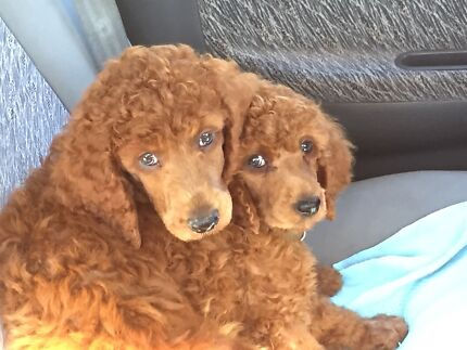 Standard poodle pups Brookdale Armadale Area Preview
