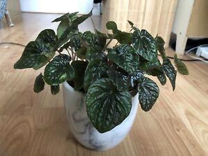 Peperomia caperata plant