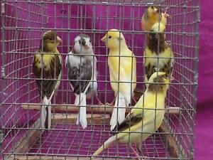 Canaries- Males & Females Parramatta Parramatta Area Preview