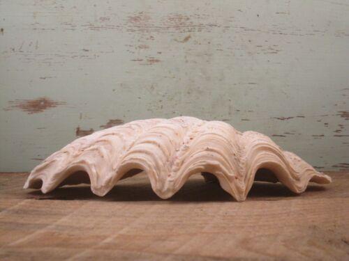 Clam Shell Natural 1lbs 1oz {D69AB}