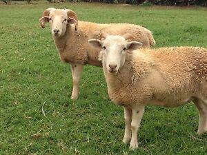 Pure Bred Wiltshire Sheep Tamborine Mountain Ipswich South Preview