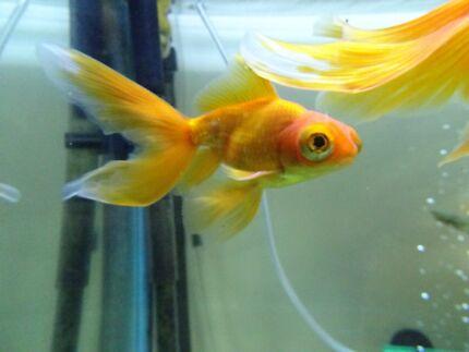 Fancy Healthy Goldfish - Males & Females