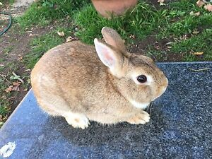 Netherland dwarf rabbits Lurnea Liverpool Area Preview