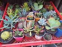 Cheap succulents $2 each! Bidwill Blacktown Area Preview