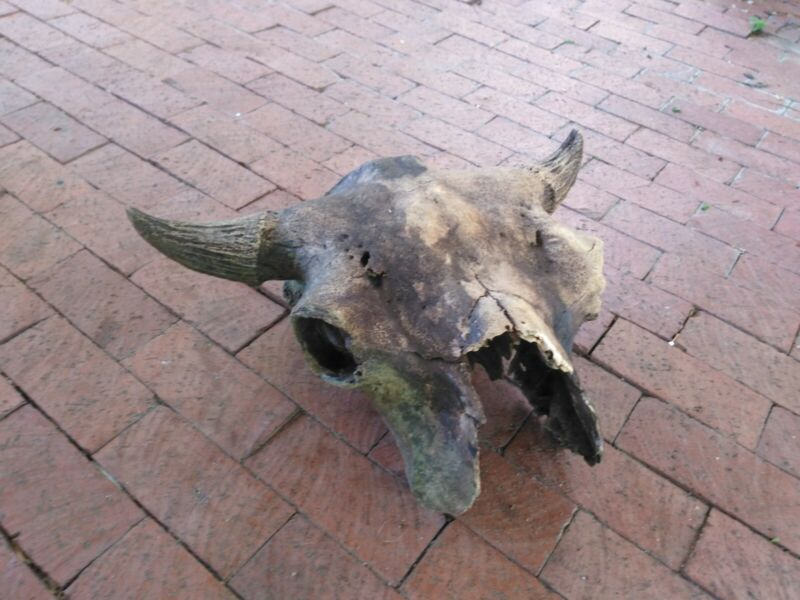 Oklahoma Ancient Bison Buffalo Skull with Horns