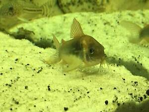 37 tropical aquarium fish for sale (plecos, corys, tetras) Canberra City North Canberra Preview