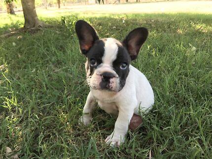 Purebred French Bulldog Male
