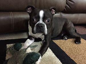 Hank , Boston Terrier Pug mix needs proper home
