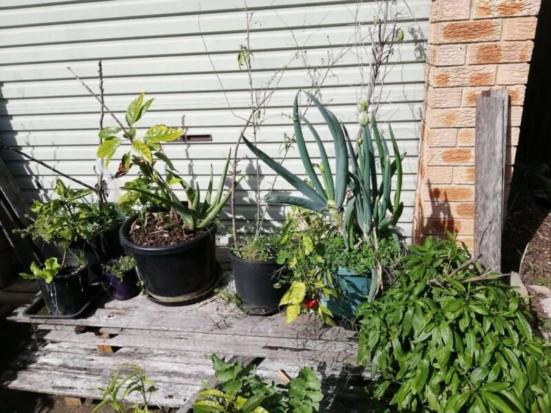 Goji Berry Plant Plants Gumtree Australia Blacktown Area