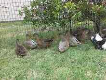 DUCKS AND CHICKENS Woolgoolga Coffs Harbour Area Preview