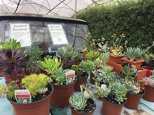 Succulents $4 - $10 Longley Kingborough Area Preview