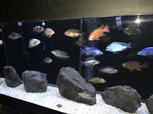 **120GALLON FULL SET UP** WITH AFRICAN CICHLIDS