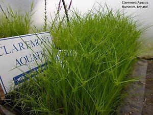 Cyperus alternifolius (Umbrella Grass) bare root/rooted cutting pond plant.