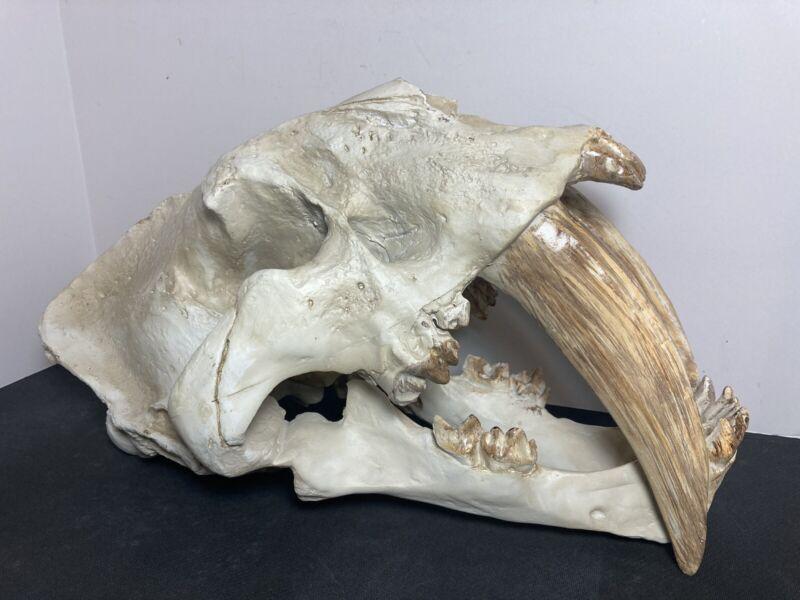 "Smilodon Saber Tooth Sabertooth Tiger Replica Skull 14.5"""