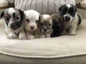 Maltese x Shihtz puppies