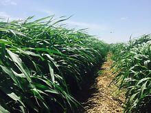 forage sorghum hay for sale Julia Creek Central West Area Preview