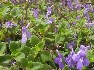 Nodding Violets in hanging pots West Ballina Ballina Area Preview
