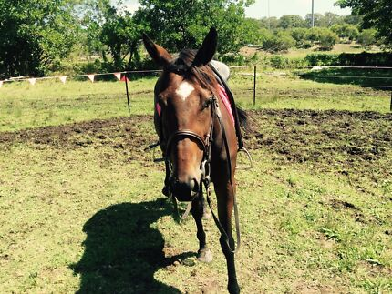 4yr old mare for sale Woongarrah Wyong Area Preview