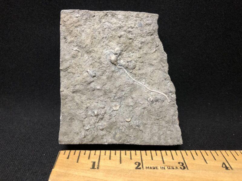 Crinoid-Ultra Rare Pro Prep Indiana Blastoid with Stem-Trilobite Fossil
