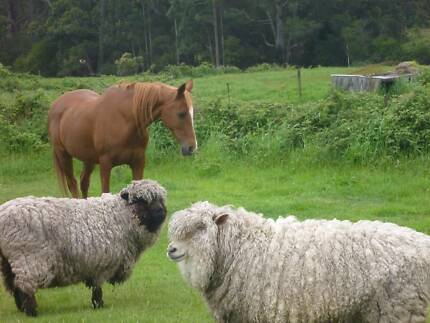 HOME FOUND! Looking for good home for two Suffolk cross ewes Cradoc Huon Valley Preview