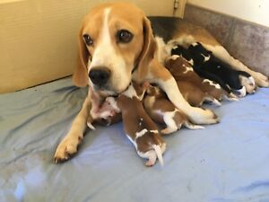 Beaglier puppies