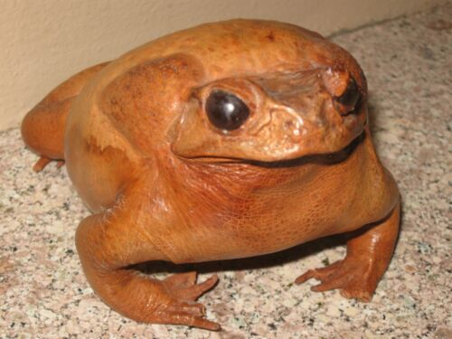 Taxidermy Toad- Oddity Large Brown- Reptile Frog- Halloween Witch Decoration