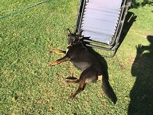 Missing Kelpie Boonah Ipswich South Preview