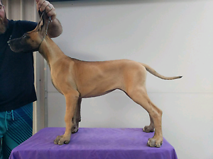 Pedigree Great Dane Puppies Moodlu Caboolture Area Preview