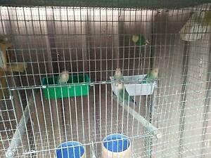 Peachface lovebirds Werrington County Penrith Area Preview