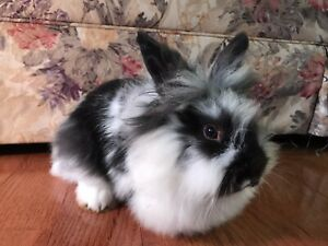 Black and White Baby Lionhead
