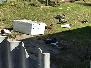 Archangel pigeons Girrawheen Wanneroo Area Preview