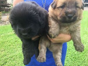 Chow chow x bearded collie Rossmore Liverpool Area Preview