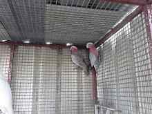Galahs Now available 25% Off All Birds All Weekend Greystanes Parramatta Area Preview