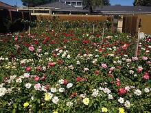 ROSES NURSERY - ROSES SPECIALISTS - ROSE BUSHES - ALL $15.00 EACH Cannington Canning Area Preview