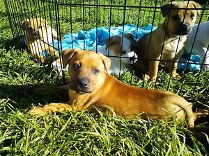 STAFFY X puppies Glandore Marion Area Preview